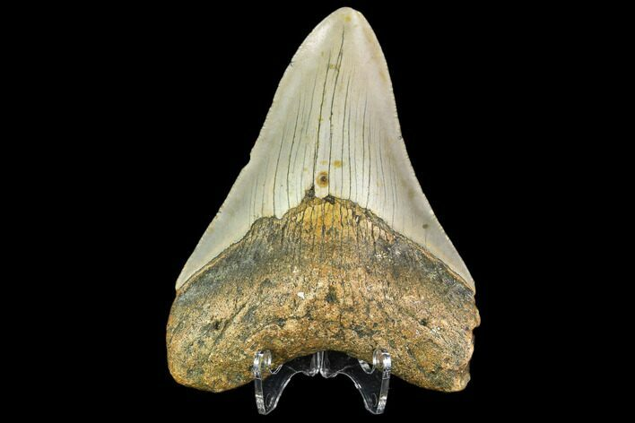 "3.91"" Fossil Megalodon Tooth - North Carolina"